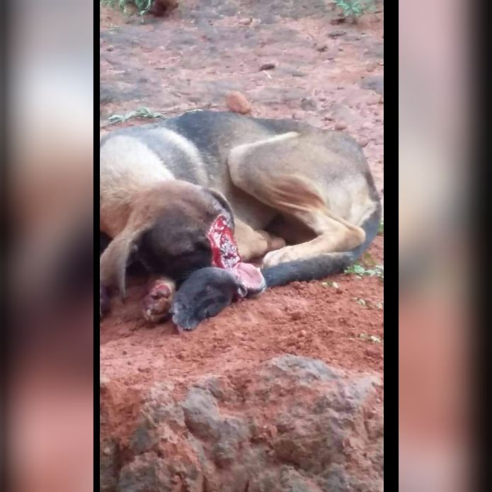 CollageMaker 20190404 091239185 - Cachorro que teve o focinho cortado em Barra do Corda morre devido não conseguir se alimentar - minuto barra
