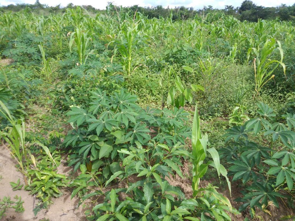 IMG 20190424 WA0151 1024x768 - Prefeito Moisés doa sementes e indígenas iniciam colheita de arroz, feijão e milho em Jenipapo dos Vieiras - minuto barra