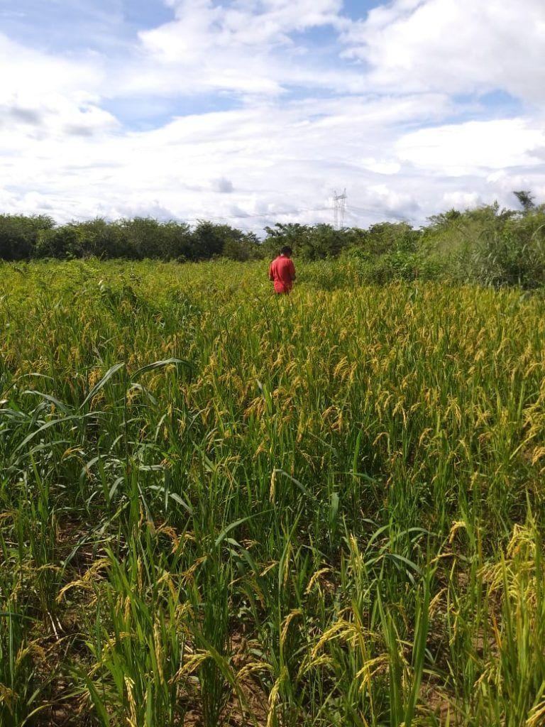 IMG 20190424 WA0157 768x1024 - Prefeito Moisés doa sementes e indígenas iniciam colheita de arroz, feijão e milho em Jenipapo dos Vieiras - minuto barra