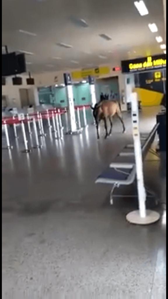 Screenshot 20190424 163648 576x1024 - Cavalo é filmado desfilando dentro do aeroporto de Imperatriz, segunda maior cidade do Maranhão - minuto barra