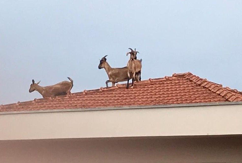 cabras sobem em telhado de casa e provocam momentos de panico em moradores - Cabras sobem em telhado de casa e provocam momentos de pânico em moradores - minuto barra